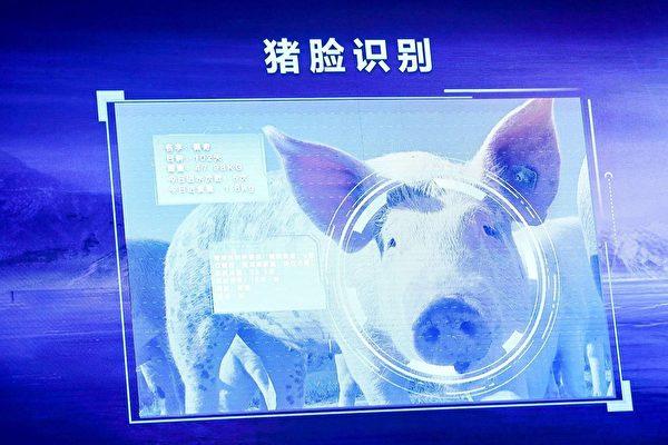 중국의 여러 첨단기술 회사들이 AI 기술을 적용한 양돈 산업에 열을 올리는 가운데 '돼지 얼굴인식' 시스템을 내 놓아 논란이 일고 있다.   인터넷 사진