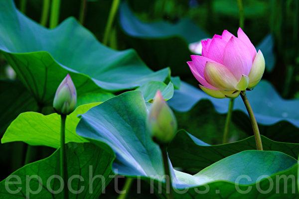 한국 양평 세미원의 연꽃 사진. (전경림 기자)