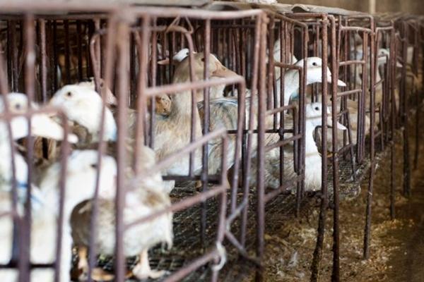 2010년 1월 27일 베이징 외곽 옌칭 구의 한 농장에서 오리들이 우리에 갇혀 있는 모습. | OLLI GEIBEL/AFP/Getty Images
