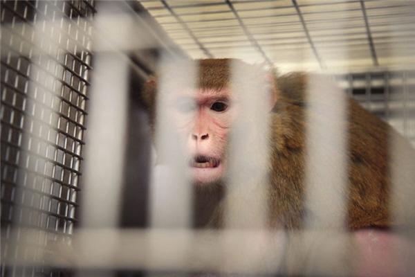 미국 위스콘신의 연구실에서 우리 안에 있는 원숭이.   Getty Images