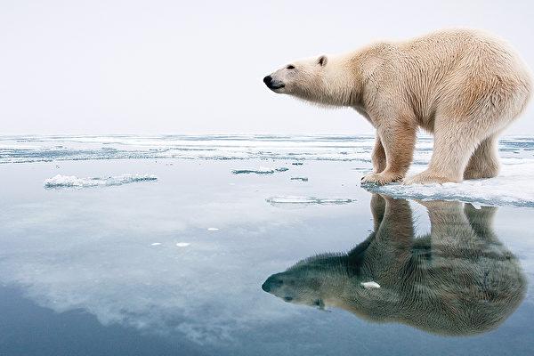 기후온난화로 북극해 얼음이 녹으면서 북극곰은 이제 먹이를 찾기 위해 더 긴 거리를 수영해야 한다.(앨버타 대학 제공)