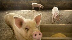 """""""중국 돼지열병, 실제로는 정부발표 2배 이상 확산 가능성"""" 식육업계"""