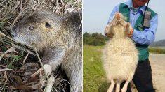 생태계 교란종 대형 쥐 '뉴트리아' 잡아 포상금만 1억 번 남자