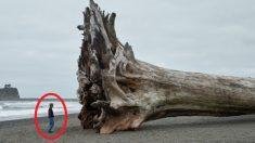 폭풍으로 뿌리째 뽑혀 해변가로 떠내려온 '길이 60m' 초대형 나무