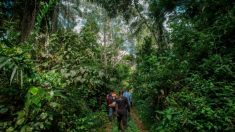 중국, 자단나무 수요 급증에 서아프리카 가나서 불법 벌목 기승