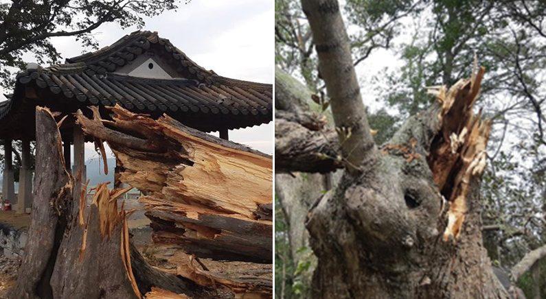 [좌]줄기가 부러진 500년 수령의 연미정 나무 | 연합뉴스 [우]수령 400년 교동도 물푸레나무 | 연합뉴스