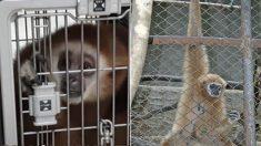 경기도 광주 도심에 나타난 '국제 멸종위기종' 흰손긴팔원숭이