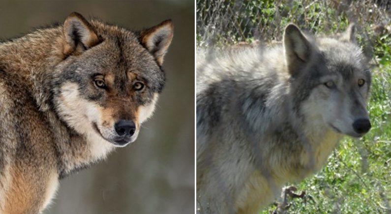 [좌]늑대 | 연합뉴스  [우]늑대개 | Mariomassone(W)
