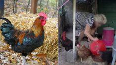 호주 70대 여성, 달걀 줍다가 수탉에게 다리 쪼여 사망