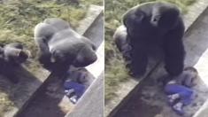 5살 아이가 우리에 떨어지자 동물원 고릴라들이 보인 반응 (영상)