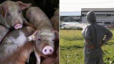 '돼지 살처분' 작업에 투입된 후 목숨을 끊는 사람들이 많다