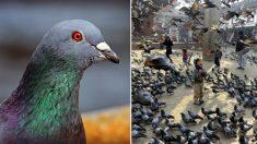 """""""푸드덕~"""" 비둘기가 주변에서 날갯짓하면 당장 피해야 하는 이유"""
