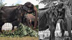 70년간 학대당해 뼈만 남았던 스리랑카 코끼리, 결국 하늘로 떠났다