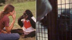 우울증 앓던 침팬지가 사람 친구 만나자 '수화'로 처음 전한 말