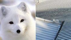 서울 한복판 건물 지붕 위에서 새하얀 '북극여우'가 발견됐다