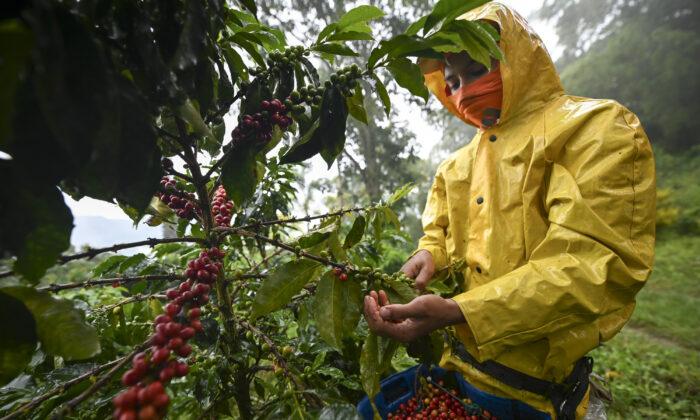 한 남성이 콜롬비아 리사랄다주 산투아리오 시에서 커피를 수확하고 있다. 2019. 5. 10. | Raul Arboleda/AFP via Getty Images