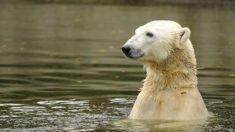 """'깡마른 북극곰' 영상에 이누이트 단체 반발 """"대체로 건강…개체 수 증가 추세"""""""