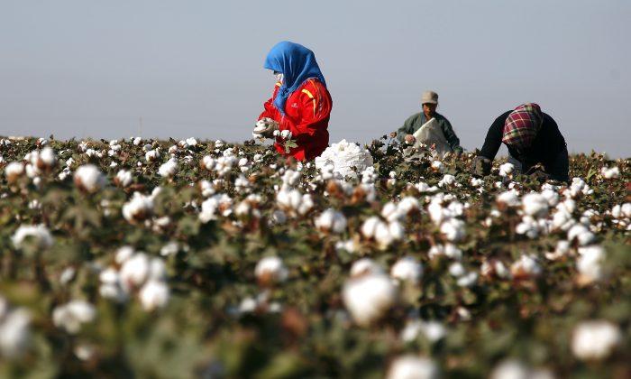 중국 서부 신장 지역 하미, 목화밭에서 사람들이 수확하고 있다. 2011.9.20.   STR/AFP=연합뉴스