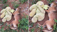 마취총 맞아 비틀거리면서도 낡은 '코끼리 인형' 찾아 쓰러진 강아지