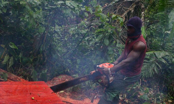은다이마코에 있는 카메룬 열대 우림에서 벌목꾼이 통나무를 톱질하고 있다. 이곳의 많은 나무는 결국 중국으로 운송된다. 2017. 4. 18.   Aminde Bla Blaise Atabong for the Epoch Times
