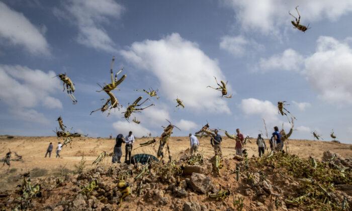 아직 날개가 자라지 않은 어린 사막 메뚜기가 소말리아 푼틀란드 반자치 지역 가로웨 인근 사막을 뒤덮고 있다. 2020.2.5 | Ben Curtis/AP=연합뉴스