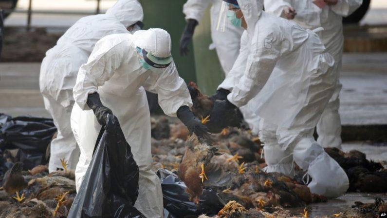 기사와 직접 관련 없는 자료사진. 가금류 시장에서 조류독감으로 죽은 닭을 처리하는 홍콩 방역요원들. 2014.12.31   AP=연합뉴스