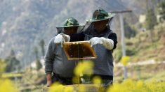 코로나19 확산, 세계 최대 꿀 생산국 中 양봉업계에도 영향…이동제한으로 시기 놓쳐