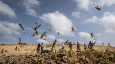 아프리카 휩쓴 메뚜기 떼, 중동·인도 넘어 중국 접근…밤나방유충 피해까지 겹치면 '재앙'