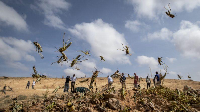 아직 날개가 자라지 않은 어린 사막 메뚜기들이 2020년 2월 5일 소말리아 가로웨 인근 사막을 뒤덮고 있다. | AP=연합뉴스
