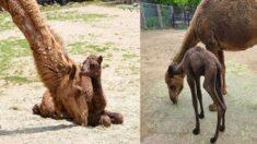 호기심 많은 아기 낙타 거봉이, 무럭무럭 자란 모습 보러 가실래요?