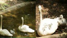 난임으로 고생한 에버랜드 큰고니 커플, 24년 만에 늦둥이 새끼 낳았다