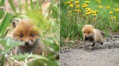 꽃구경 나왔다가 사람이랑 눈 마주치고 부끄러워 호다닥 도망가는 아기 여우