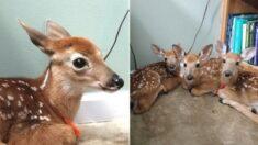 폭우 쏟아지자 사람 사는 집으로 몰래 들어온 아기 사슴 삼형제