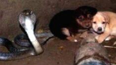 '독사' 킹코브라와 함께 우물에 빠진 아기 강아지들에게 이상한 일이 일어났다