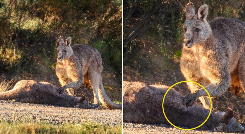 Facebook 'Australian Society for Kangaroos'