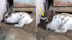 갑자기 땅 파는 반려토끼 보고 무슨 일인가 했던 주인, 토끼는 안에 갇혀 있던 아기 길고양이를 구해냈다