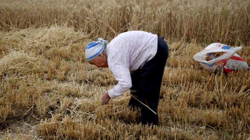 기사와 직접 관련 없는 자료사진. 중국 허베이성의 한 농부가 밀을 줍고 있다. 2011년 5월 25일 | VCG/VCG via Getty Images