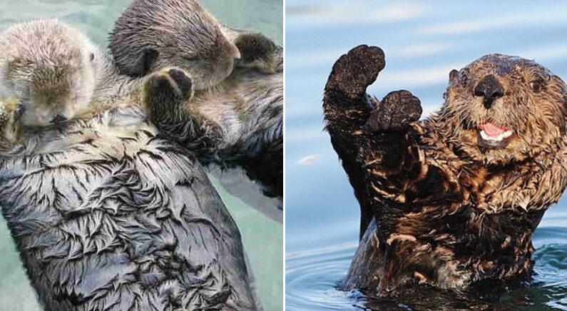 [좌] Instagram 'sea_otters_daily' [우] Instagram 'sosotters'