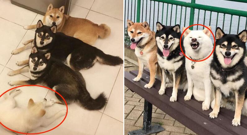 페이스북 'Shiba Inu - Kikko, Sasha, Momo & Hina'