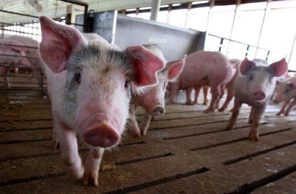 화웨이가 자구책으로 돼지 키우기에 나섰다.   Scott Olson/Getty Images