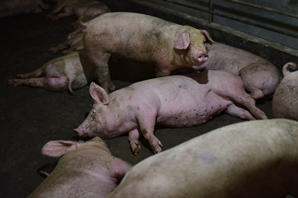 최근 중국 윈난성 푸닝현에서 아프리카돼지열병이 재발했다. | Photo credit should read GREG BAKER/AFP/Getty Images