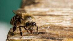 꿀벌 훈련해 냄새로 코로나 탐지, 수초 이내 결과