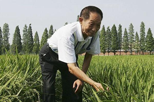 2006년 6월 20일, 위안룽핑은 후난(湖南)성 창사(長沙)에서 한 교잡벼 시험 논에서 벼를 관찰하고 있다.   Guang Niu/Getty Images