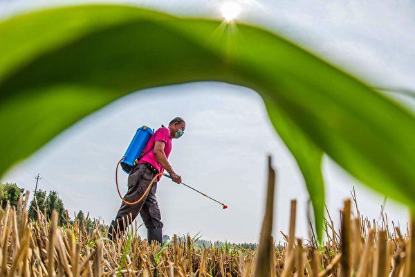 중국공산당이 종자 문제를 국가 안보 수준으로 격상하자 식량 확보에 문제가 있다는 분석이 나오고 있다. | STR/AFP via Getty Images연합