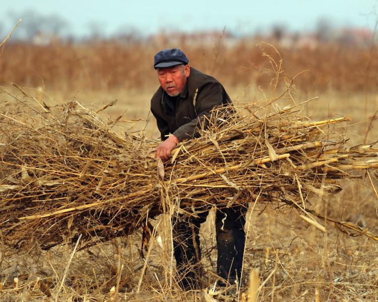 A farmer bundles dried stalks of wheat