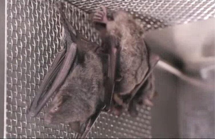 screenshot bat wiv wuhan